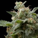 Super Hash (Pyramid Seeds) feminized