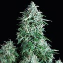 Anubis (Pyramid Seeds) feminized