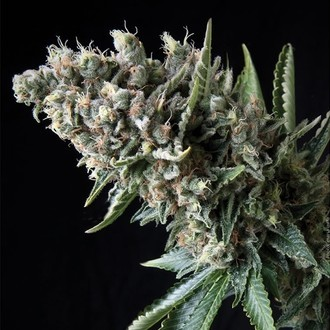 Auto Nefertiti (Pyramid Seeds) feminized
