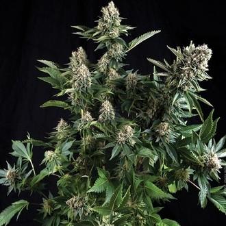Auto White Widow (Pyramid Seeds) feminized