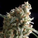 Auto Super Hash (Pyramid Seeds) feminized