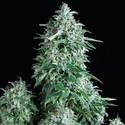 Auto Anubis (Pyramid Seeds) feminized
