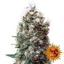 Phatt Fruity (Barney's Farm) feminized