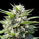 Northern Lights Auto (Genehtik Seeds) feminized
