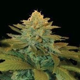 Txees Bilbo (Genehtik Seeds) feminized