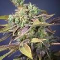 Txomango (Genehtik Seeds) feminized