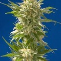 AK (Spliff Seeds) feminized