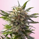 Crystal White (Spliff Seeds) feminized