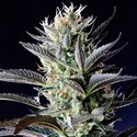 Dutch Blue Automatic (Spliff Seeds) feminized