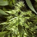 Fast Bud Outdoor (Spliff Seeds) feminized