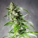 Jack F1 (Spliff Seeds) feminized
