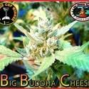 Big Buddha Cheese  (Big Buddha Seeds) feminized