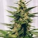 Polm Gold Outdoor (Spliff Seeds) feminized