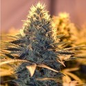 Spliff Cheese (Spliff Seeds) feminized