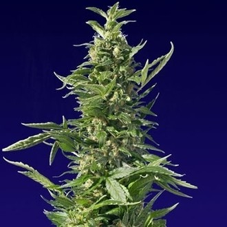 Spliff Diesel (Spliff Seeds) feminized