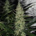 Super Skunk (Spliff Seeds) feminized