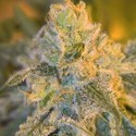 Sweet 'n' Sour Outdoor (Spliff Seeds) feminized