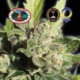 Blue Cheese (Big Buddha Seeds) feminized