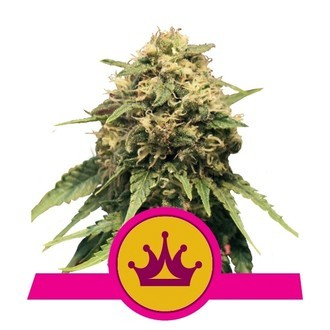 Special Queen 1 (Royal Queen Seeds) feminized