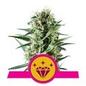 Special Kush 1 (Royal Queen Seeds) feminized