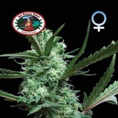 Cheesus (Big Buddha Seeds) feminized