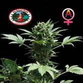 Automatic (Big Buddha Seeds) feminized