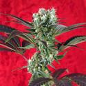 Kalijah (Reggae Seeds) regular