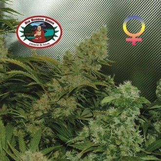 Bubble Cheese (Big Buddha Seeds) feminized