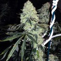 Deadhead OG (Cali Connection) feminized