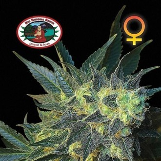 Chiesel (Big Buddha Seeds) feminized