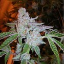 Buddha Tahoe OG (Cali Connection) feminized