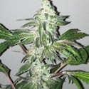 Girl Scout Cookies (Cali Connection) feminized