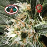 G Bomb (Big Buddha Seeds) feminized