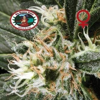 G Bomb (Big Buddha Seeds) feminized