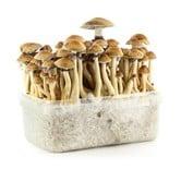 100% Mycelium Kit 'Brazil' (Supa Gro)