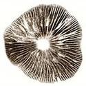 Sporen Print Psilocybe Cubensis Amazonian