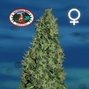 Cheesy Dick (Big Buddha Seeds) feminized