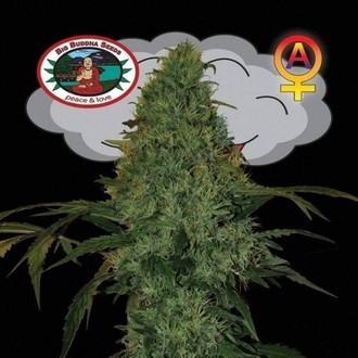 Critical Mass Automatic (Big Buddha Seeds) feminized