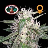 Cheese Dawg (Big Buddha Seeds) feminized