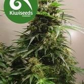 Kiwiskunk (Kiwi Seeds) feminized