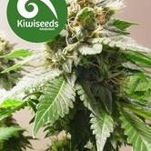 Mt Cook (Kiwi Seeds) feminized