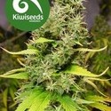 White Island (Kiwi Seeds) feminized