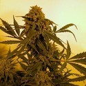 Guillotine (French Touch Seeds) feminized