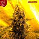 Sativa Des Rois (French Touch Seeds) feminized