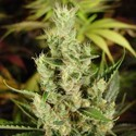 Amnesia Haze (Soma Seeds) feminized