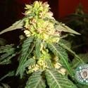 Kushadelic (Soma Seeds) feminized