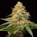 Silver LA (DNA Genetics) feminized