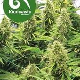 2 Pounder (Kiwi Seeds) feminized