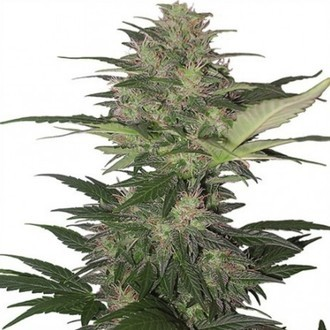 Red Dwarf (Buddha Seeds) feminized