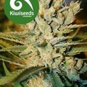 Alegria (Kiwi Seeds) feminized